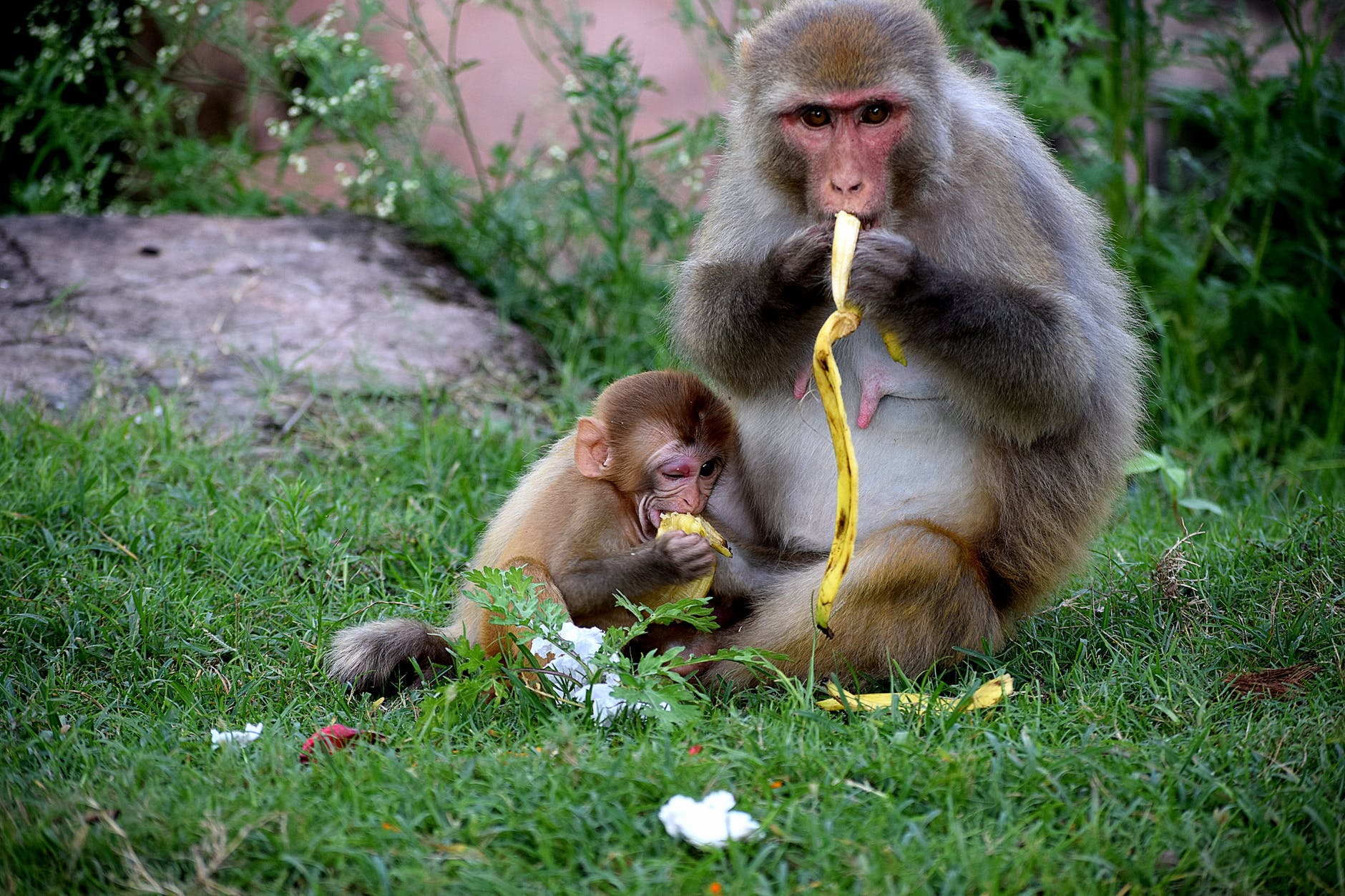 monkey eating bananas